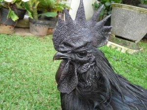 Ayam-Cemani-Chicken-1